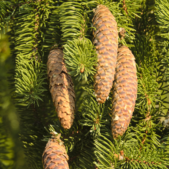 """Common spruce (Picea abies 'Viminalis')"" stock image"