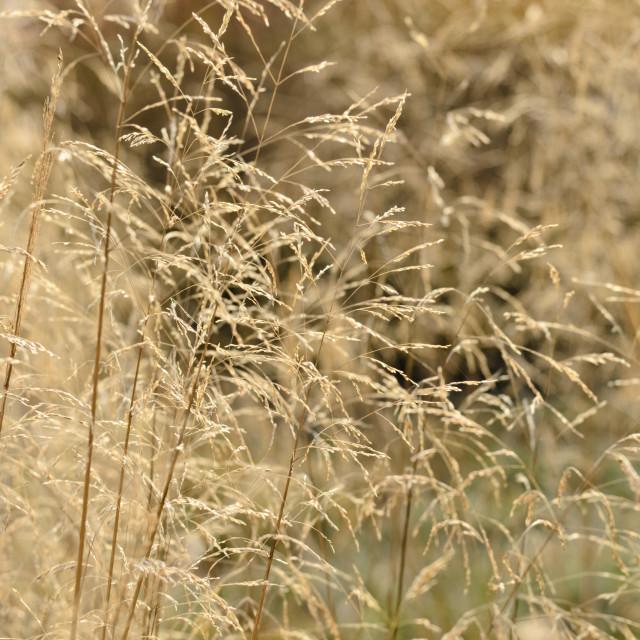"""""""Tufted hair grass (Deschampsia cespitosa)"""" stock image"""