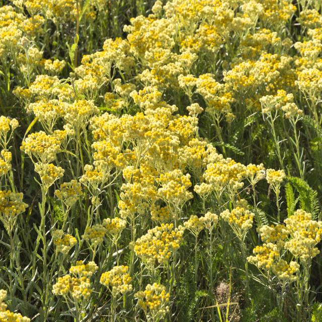 """""""Dwarf everlasting (Helichrysum arenarium)"""" stock image"""