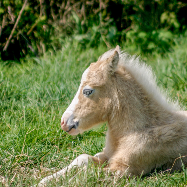 """A young foal laying down in a field"" stock image"
