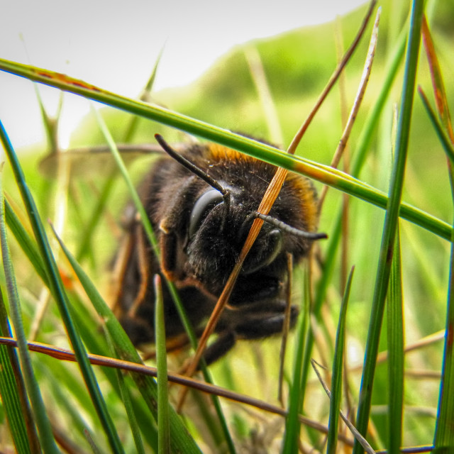 """A bee crawling through the grass"" stock image"