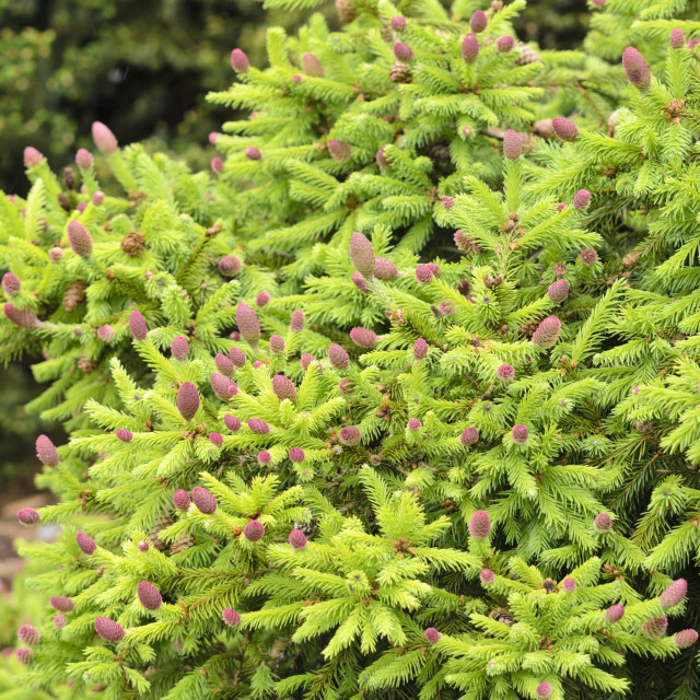 """""""Dwarf common spruce (Picea abies 'Acrocona Push' syn. Picea abies 'Pusch')"""" stock image"""