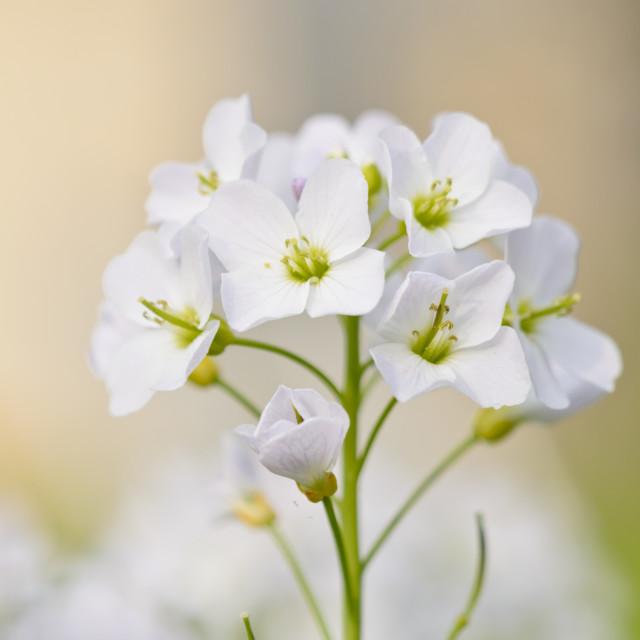 """Cuckoo flower (Cardamine pratensis)"" stock image"