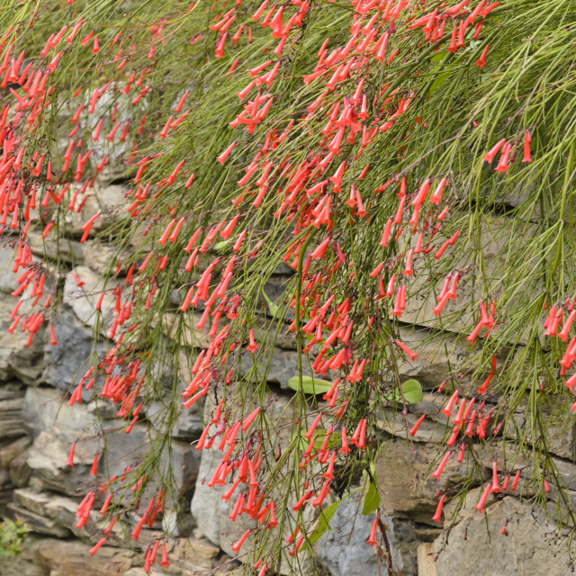 """""""Firecracker plant (Russelia equisetiformis) in a stone wall"""" stock image"""