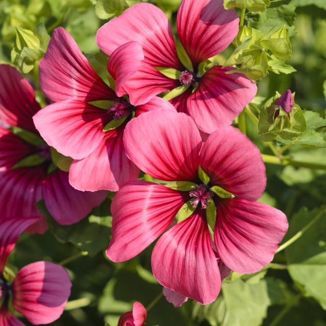 """Mistery flower (Malope trifida 'Grandiflora')"" stock image"