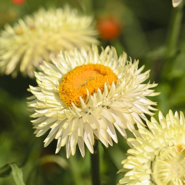 """Golden everlasting (Xerochrysum bracteatum syn. Helichrysum bracteatum)"" stock image"