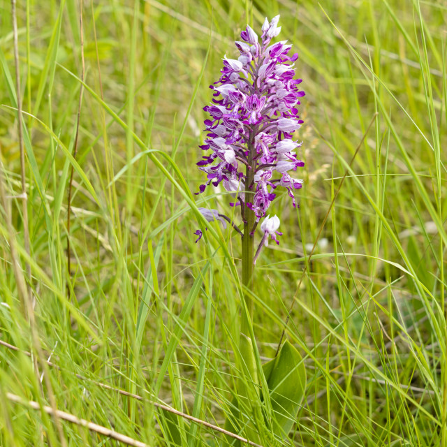 """""""Military orchid (Orchis militaris)"""" stock image"""