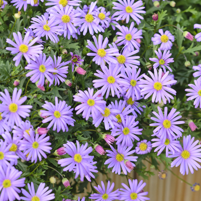 """Cut-leaved daisy (Brachyscome)"" stock image"