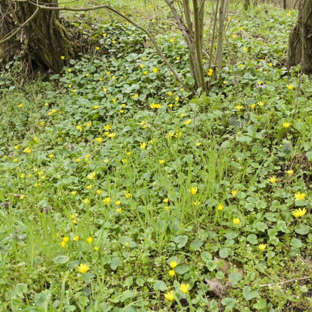 """Lesser celandine (Ficaria verna syn. Ranunculus ficaria)"" stock image"