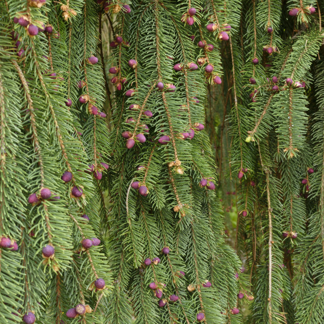"""""""Weeping spruce (Picea abies 'Inversa')"""" stock image"""
