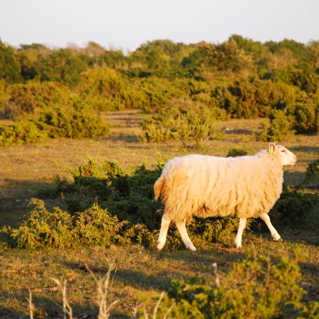 """Walking sheep among junipers"" stock image"