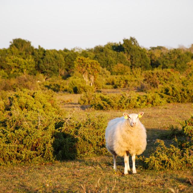 """Watching sheep among junipers"" stock image"
