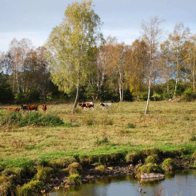 """""""Grazing cattle by a waterhole"""" stock image"""