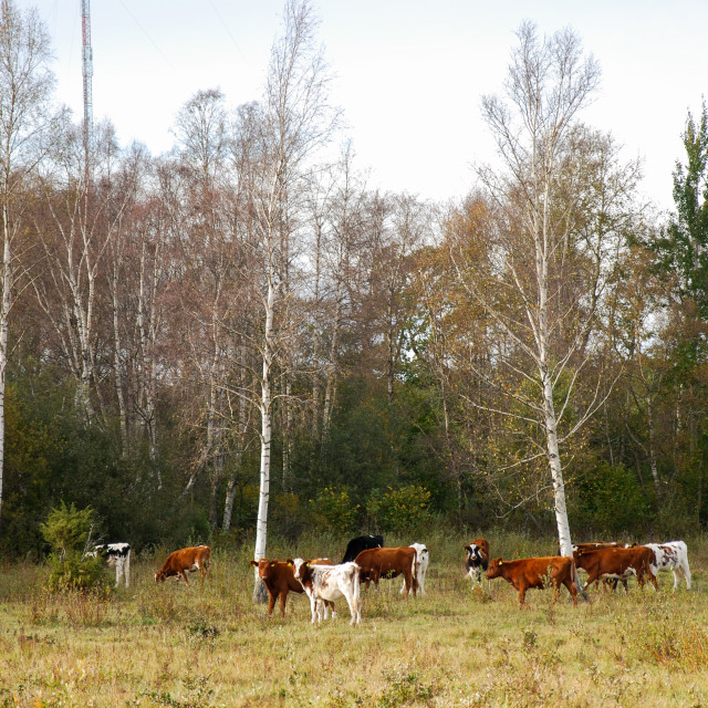 """""""Fall season with grazing cattle"""" stock image"""