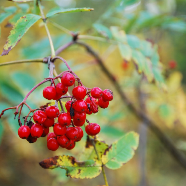 """Ripe rowan berries on a twig"" stock image"