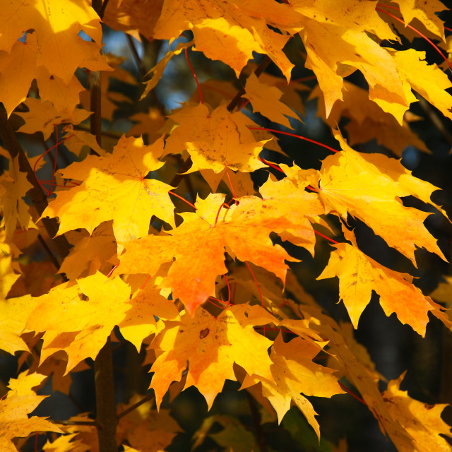 """""""Bunch of fall colored leaves"""" stock image"""