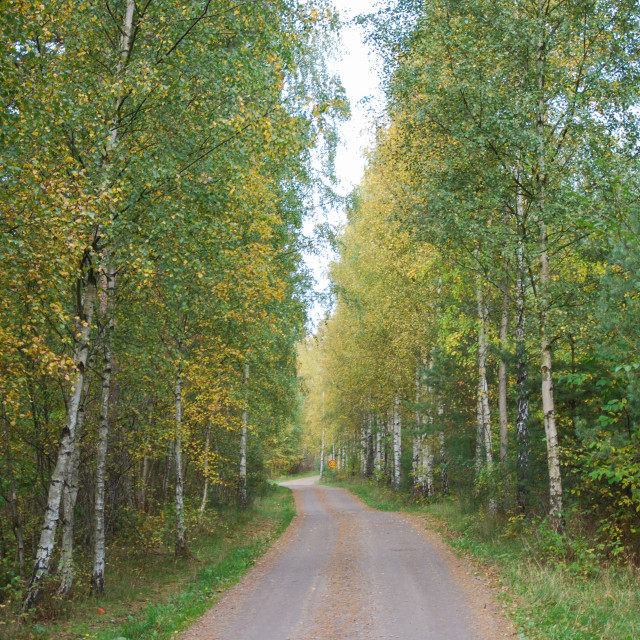 """""""Gravel road through a birch tree forest"""" stock image"""