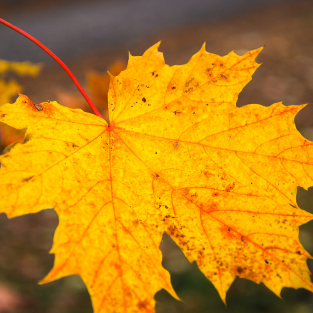 """Beautiful colored maple leaf"" stock image"