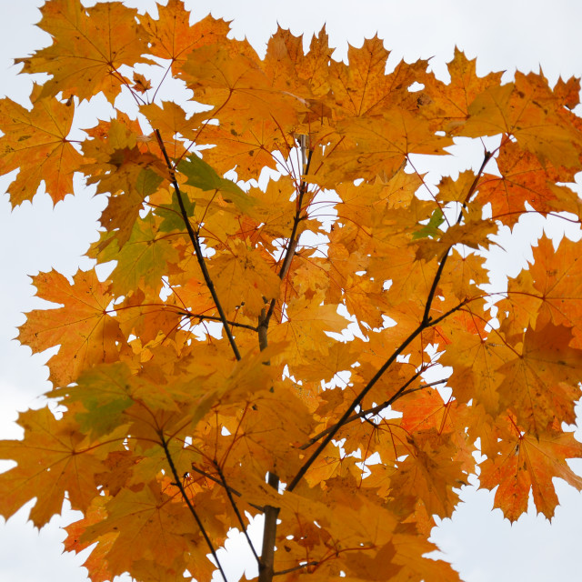 """""""Colorful maple tree branch"""" stock image"""
