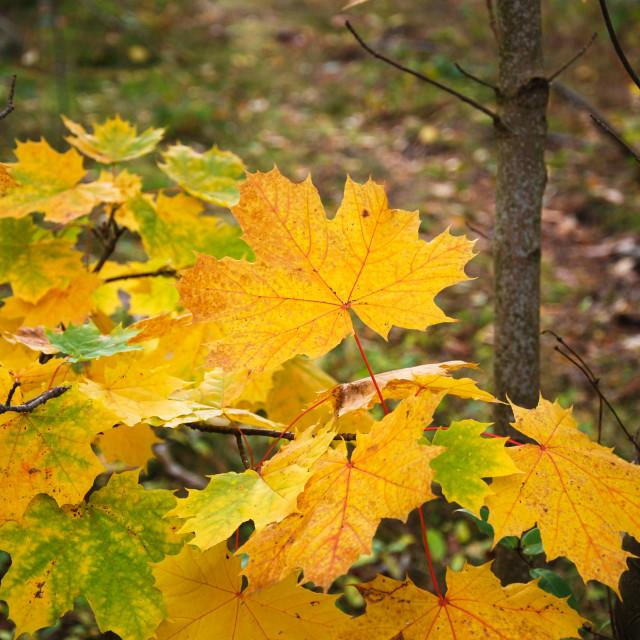 """Fall season colored leaves"" stock image"