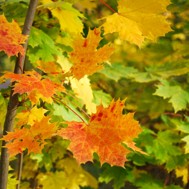 """""""Beautiful colored maple leaves"""" stock image"""