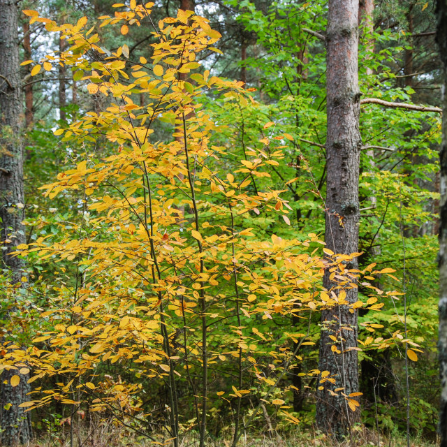 """""""Golden leaves in a forest"""" stock image"""