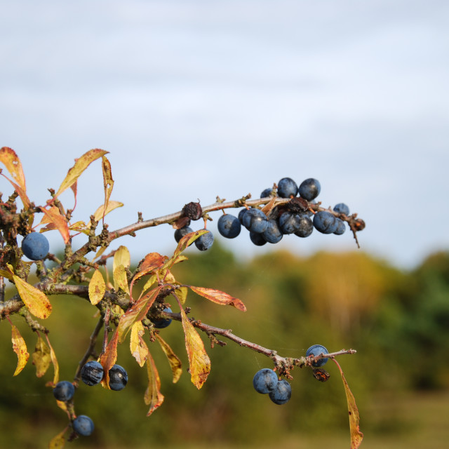 """Ripe sloe berries on a twig"" stock image"