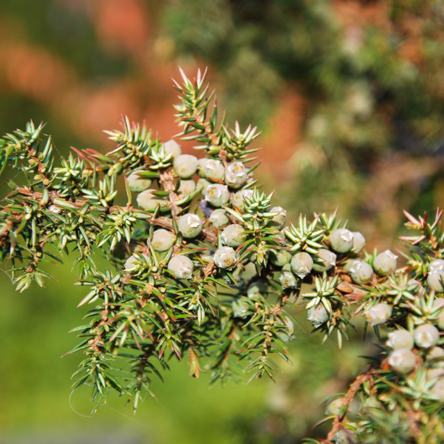 """""""Growing green juniper berries"""" stock image"""