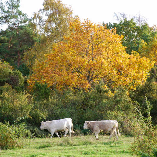 """""""White cows in a colorful landscape"""" stock image"""