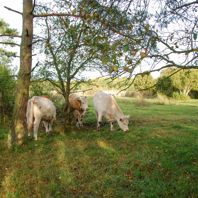 """""""Grazing cattle in a bright forest"""" stock image"""