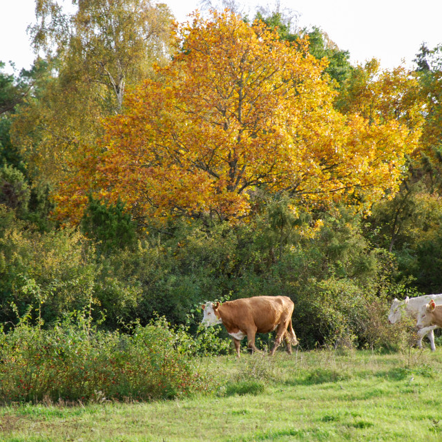 """""""Cattle in a fall colored landscape"""" stock image"""