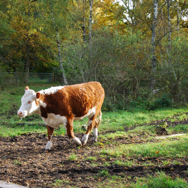 """""""Sunlit brown young cow"""" stock image"""