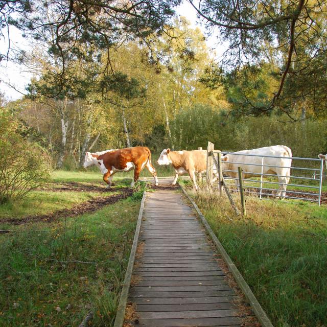 """Cattle crossing a wooden footbridge"" stock image"