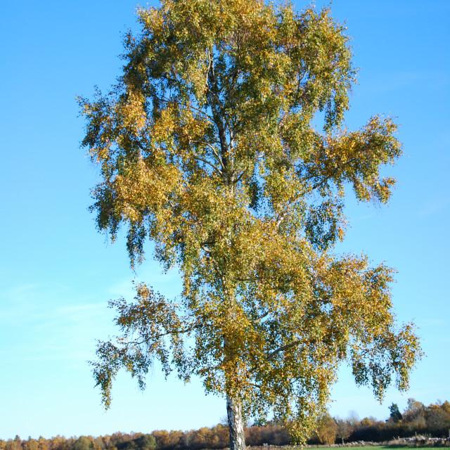 """Lone golden birch tree"" stock image"