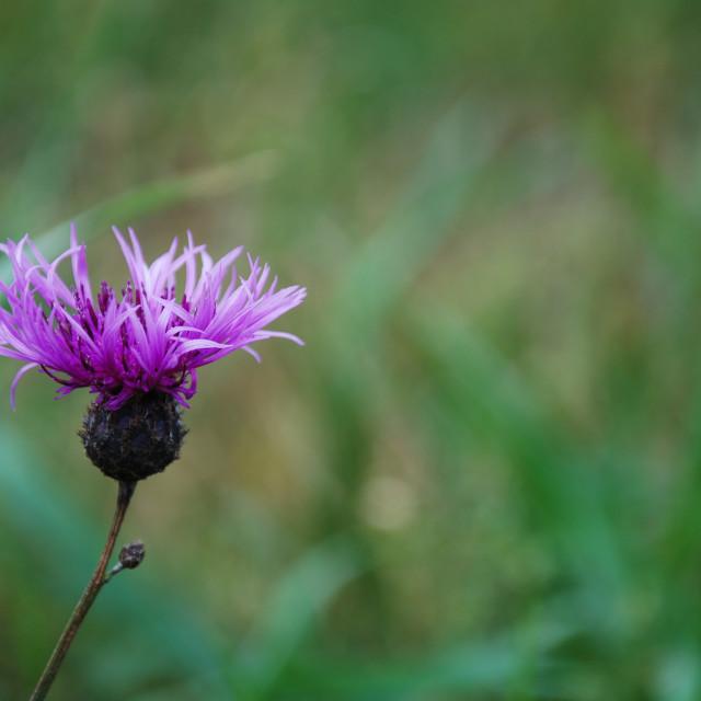 """Purple flower head"" stock image"