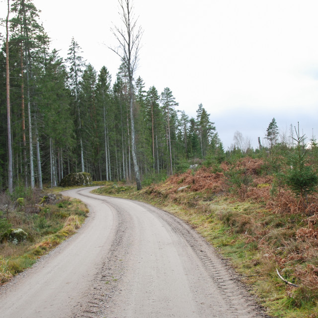 """""""Winding gravel road in a coniferous forest"""" stock image"""