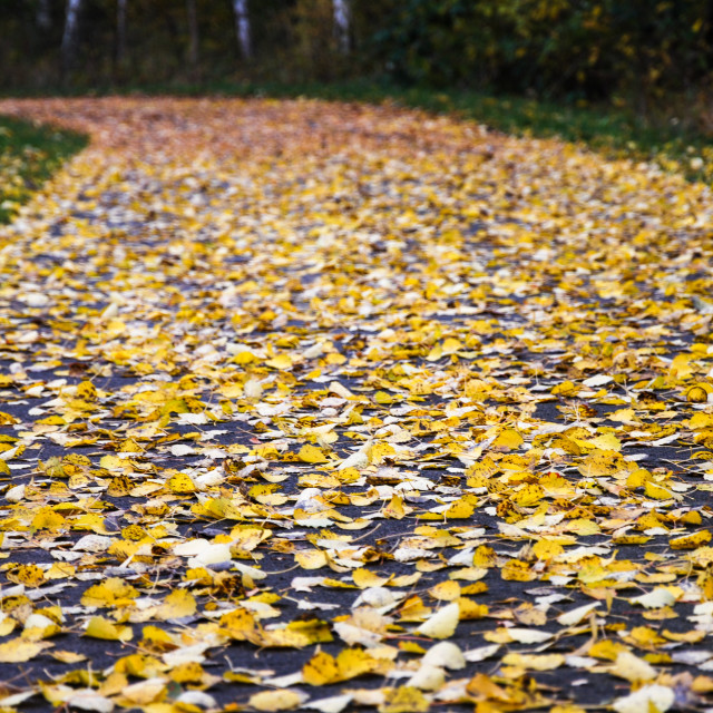 """Glowing aspen leaves"" stock image"