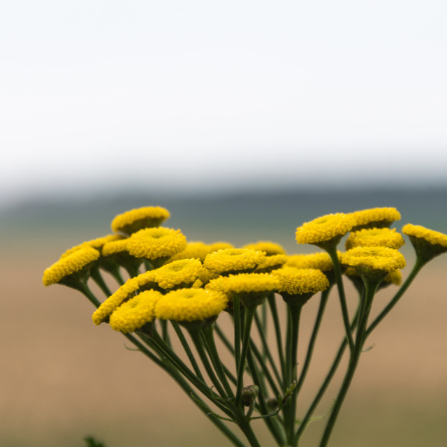 """""""Yellow tansy flower"""" stock image"""