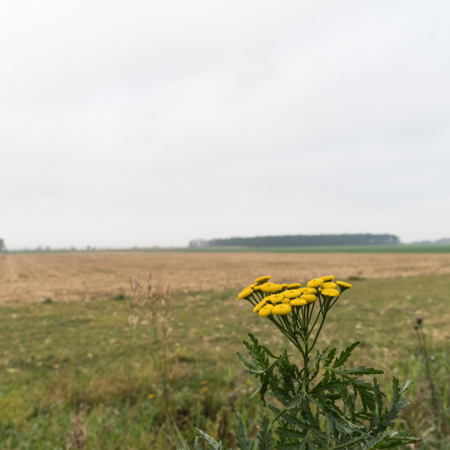 """""""Tansy flowers in a field"""" stock image"""