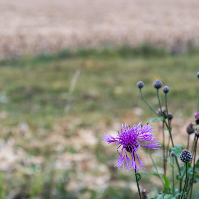 """""""Purple wildflower"""" stock image"""