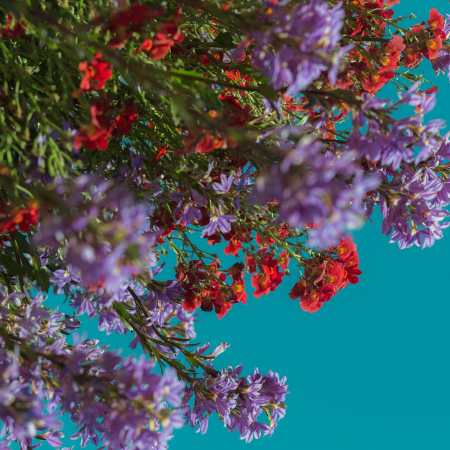 """""""Colorful Arrangement of Flowers in Bloom With Vibrant Blue Background"""" stock image"""