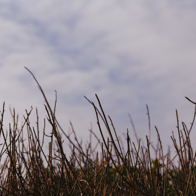 """""""Row of Coastal Reeds with Blue Sky Background, in California, USA"""" stock image"""