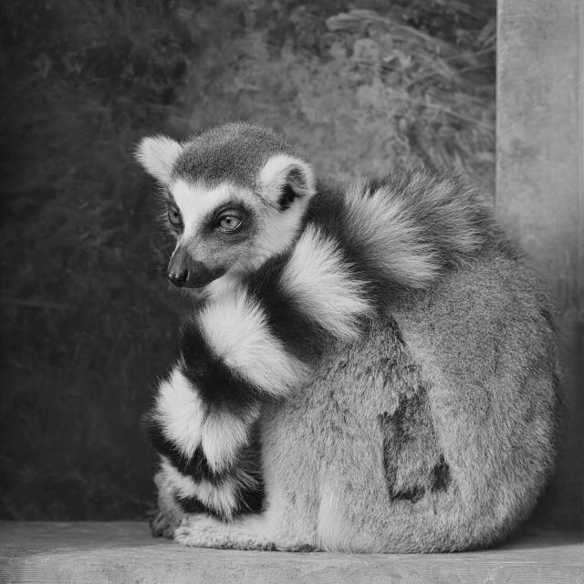 """RingTailed Lemur"" stock image"