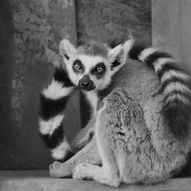 """""""Ring Tailed Lemur"""" stock image"""