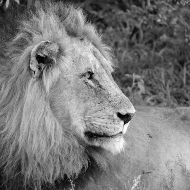 """A lion posing"" stock image"