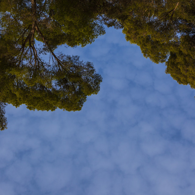 """""""Sky and Pine Trees"""" stock image"""