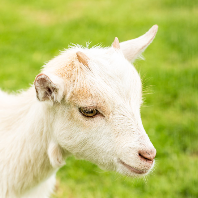 """Miniature Goat Portrait"" stock image"