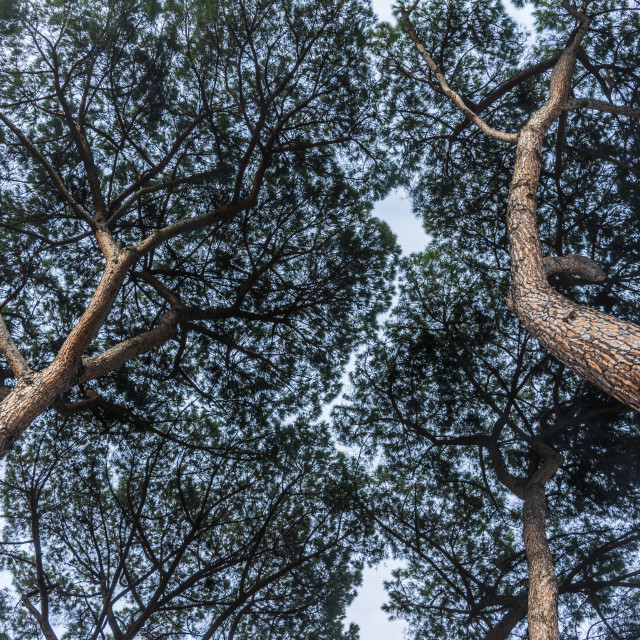 """Looking up: umbrella pine trees"" stock image"