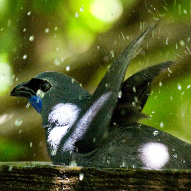 """Kokako, native forest bird in New Zealand"" stock image"