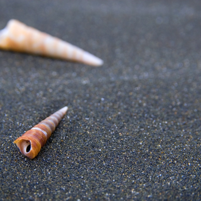 """Cone shells on the beach at Karekare, Northland, New Zealand"" stock image"